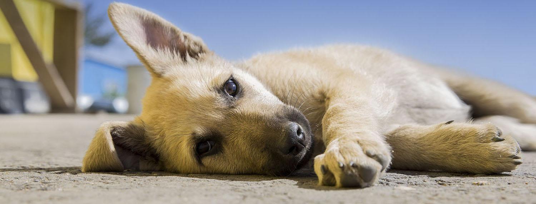puppycursus limburg opvoeden puppy